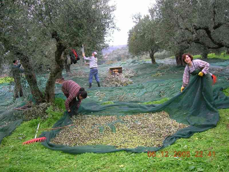 olivecollection1